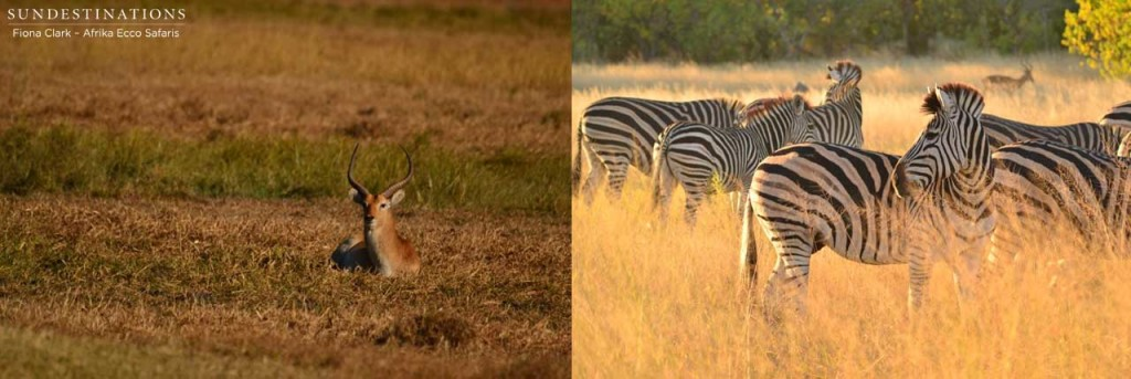 Lechwe and zebra in Xinii, Moremi