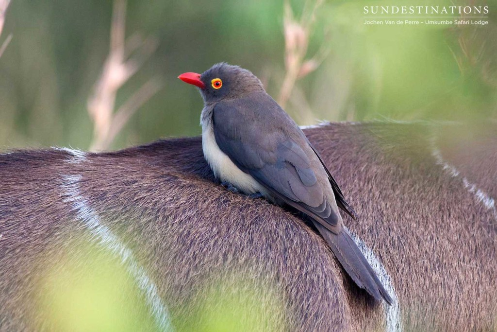 A red-billed oxpecker clings on to the fur of a kudu as the herd moves through the thicket.