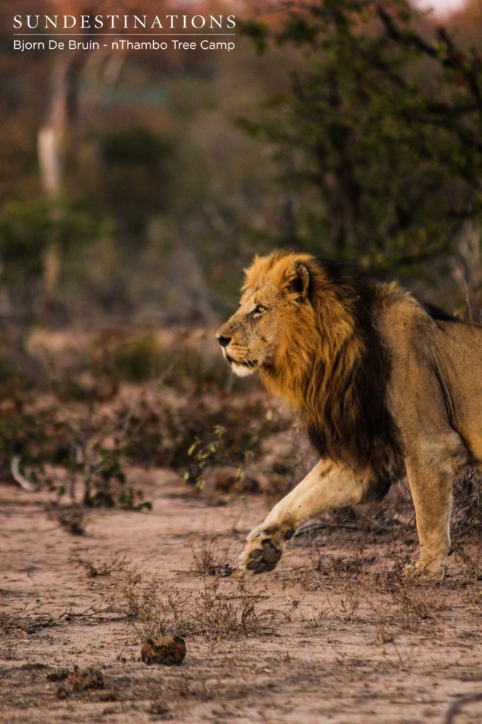 A Trilogy male lion strides out into the morning light, hot on the trail of a buffalo herd
