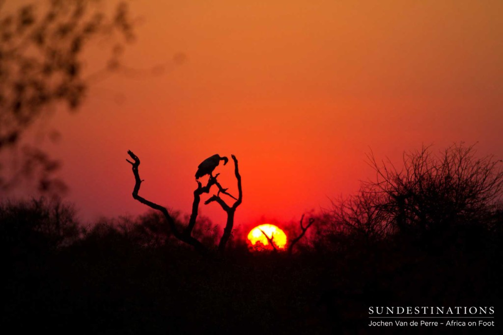 Bowing its head to the setting sun, a white-backed vulture is silhouetted perfectly before darkness takes over