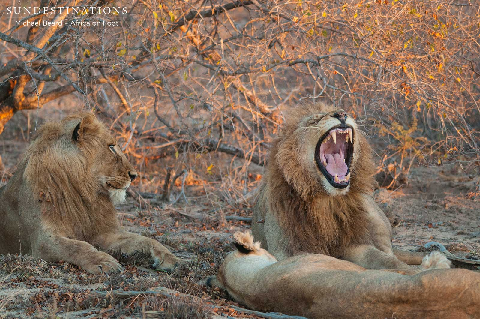 Rare Photos of Both Mapoza Male Lions