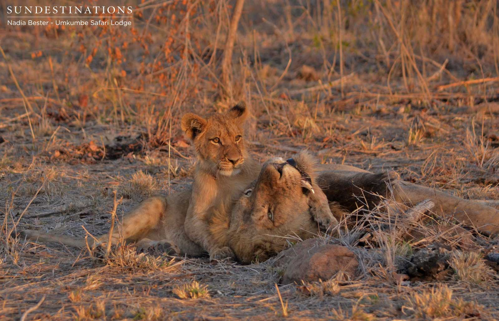 Southern Pride Lions & Their Two New Cubs