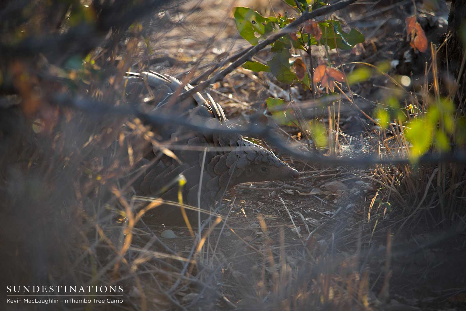 Jackpot! A Wild Pangolin Spotted on Game Drive