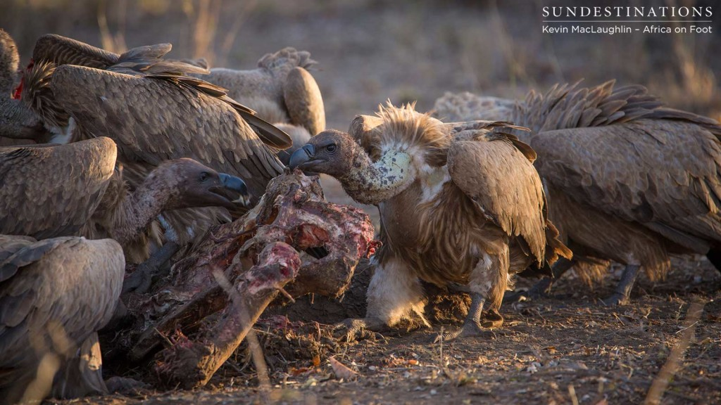 White-backed vultures close in as soon as lions move off the carcass