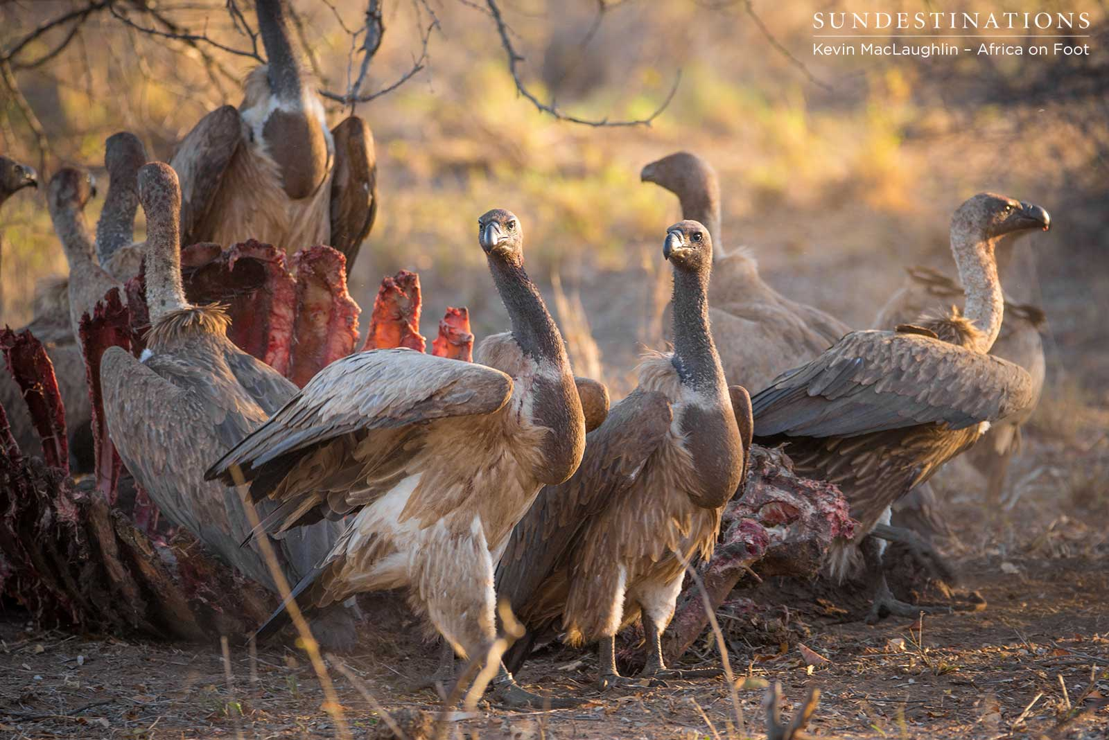 Vultures tucking in to the buffalo carcass