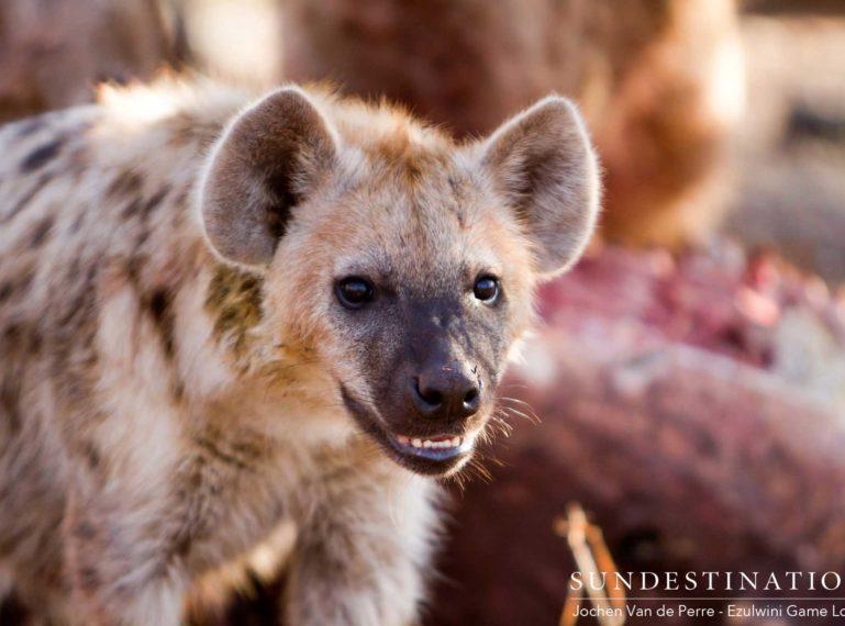 Ezulwini Hyenas Displace Lions from Zebra Kill