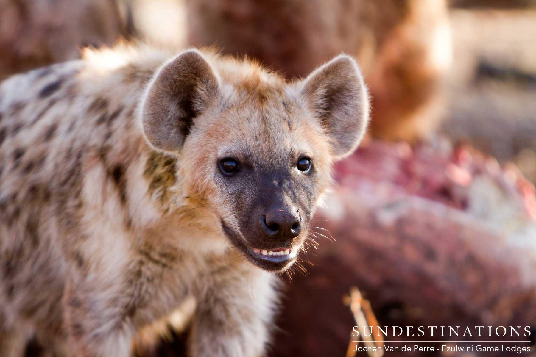 Hyena Ezulwini
