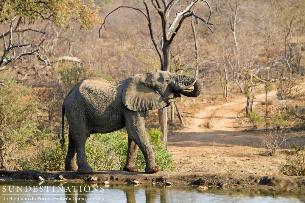 Refreshment by the galleon in the Balule where elephants congregate at the pans and waterholes to wash down the kilograms of plant matter they eat daily. A magnificent image of Africa's greatest land mammal.