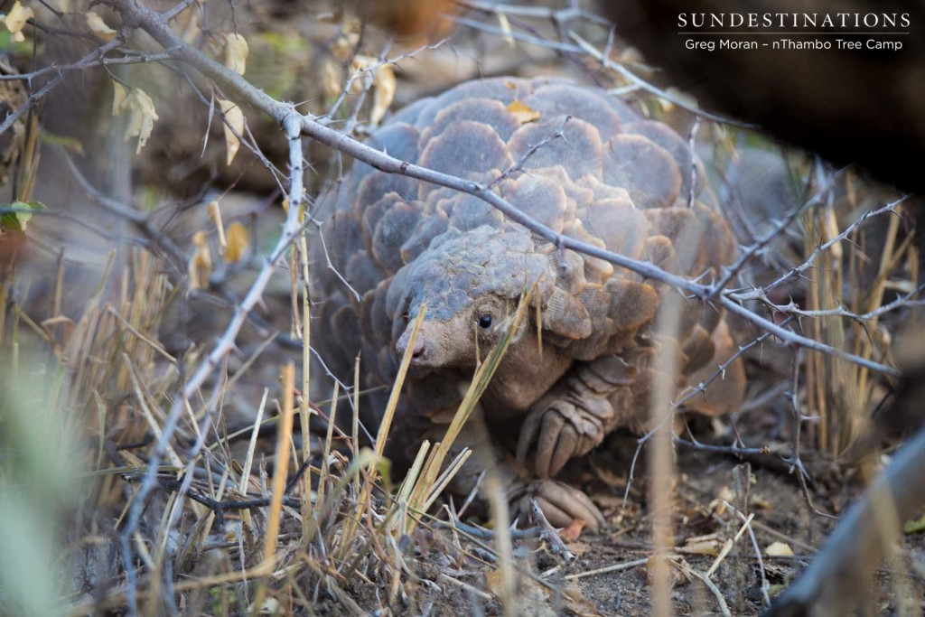 A pangolin spotted in the Klaserie