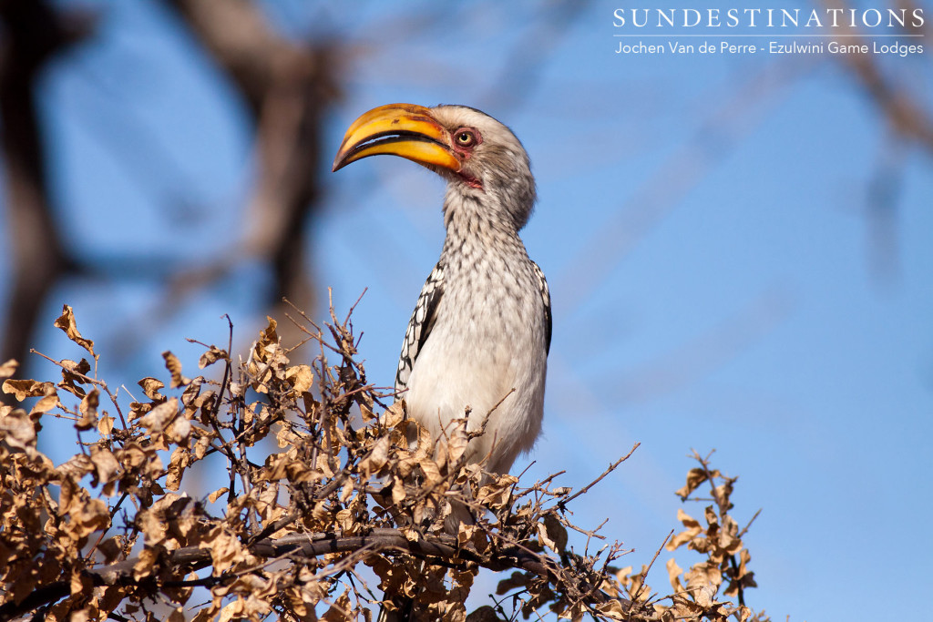 The famous 'Zazu': a yellow-billed hornbill strikes a pose in the morning sunlight