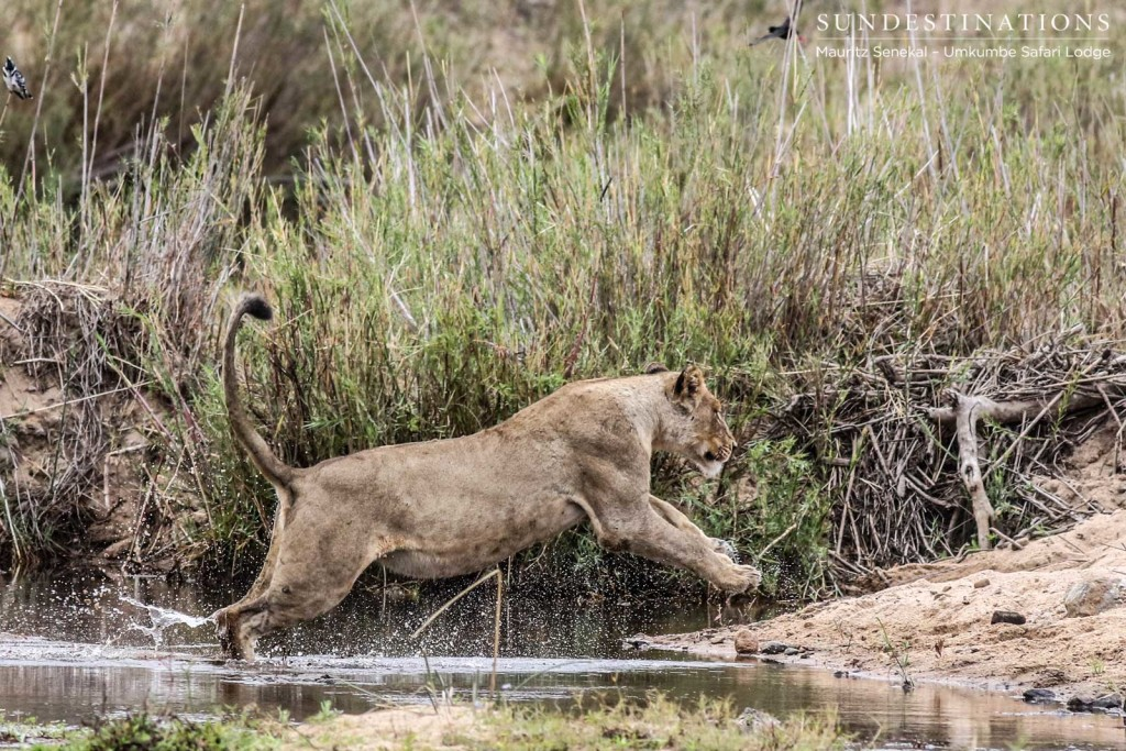 A Mhangeni lioness completes her river crossing with a powerful leap out of the water, making for a wonderful photographic opportunity