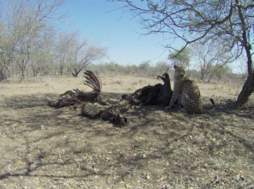 When buffaloes lose their lives to lions, it's the beginning of a process of decomposition, and it is surprising just how many creatures benefit from the death of the buffalo after the lions have done their part and eatenthe meat from the bones. The entire buffalo gets put to use and all that remains might […]