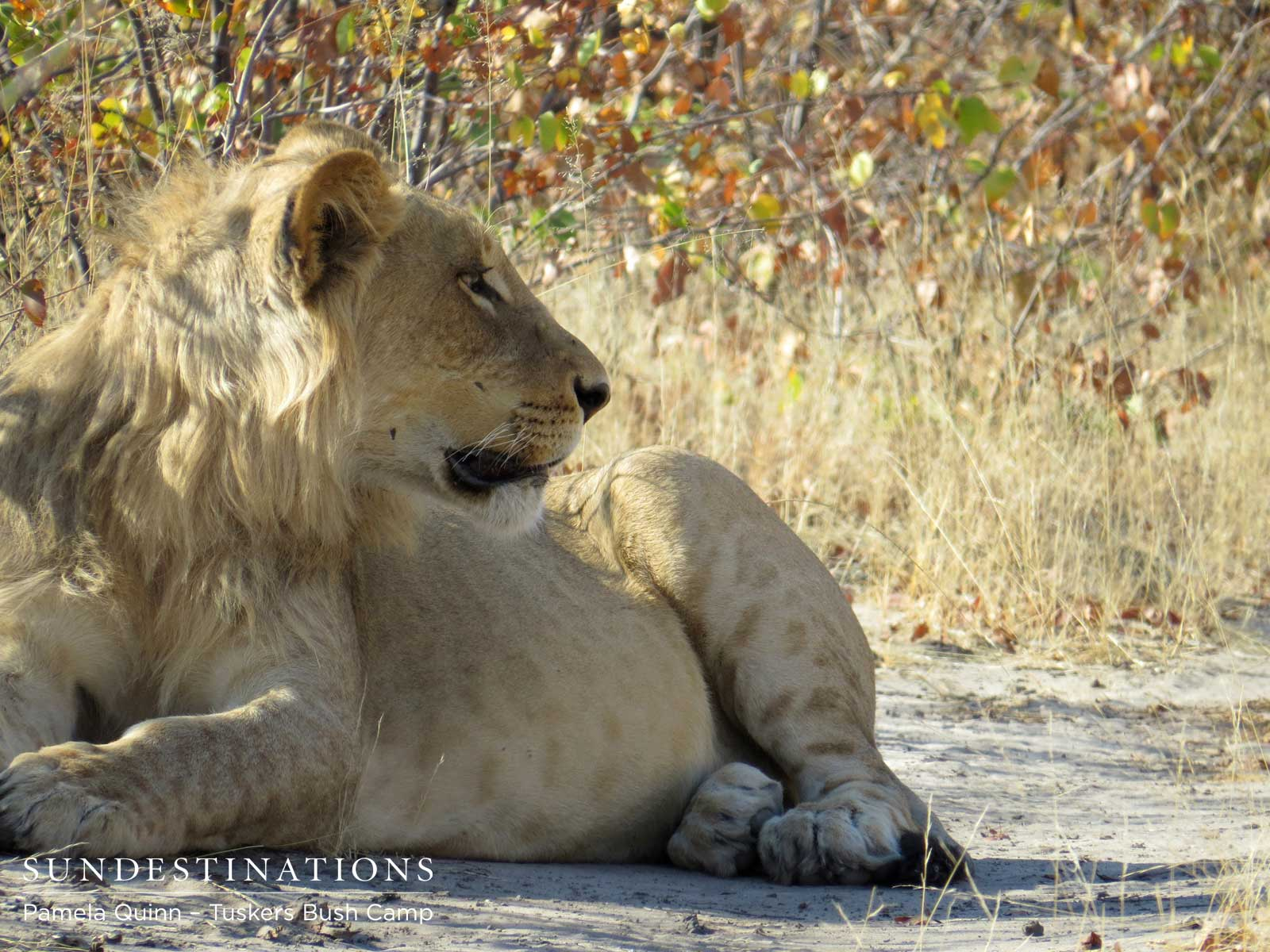 Tuskers Bush Camp: Meet Our Lions