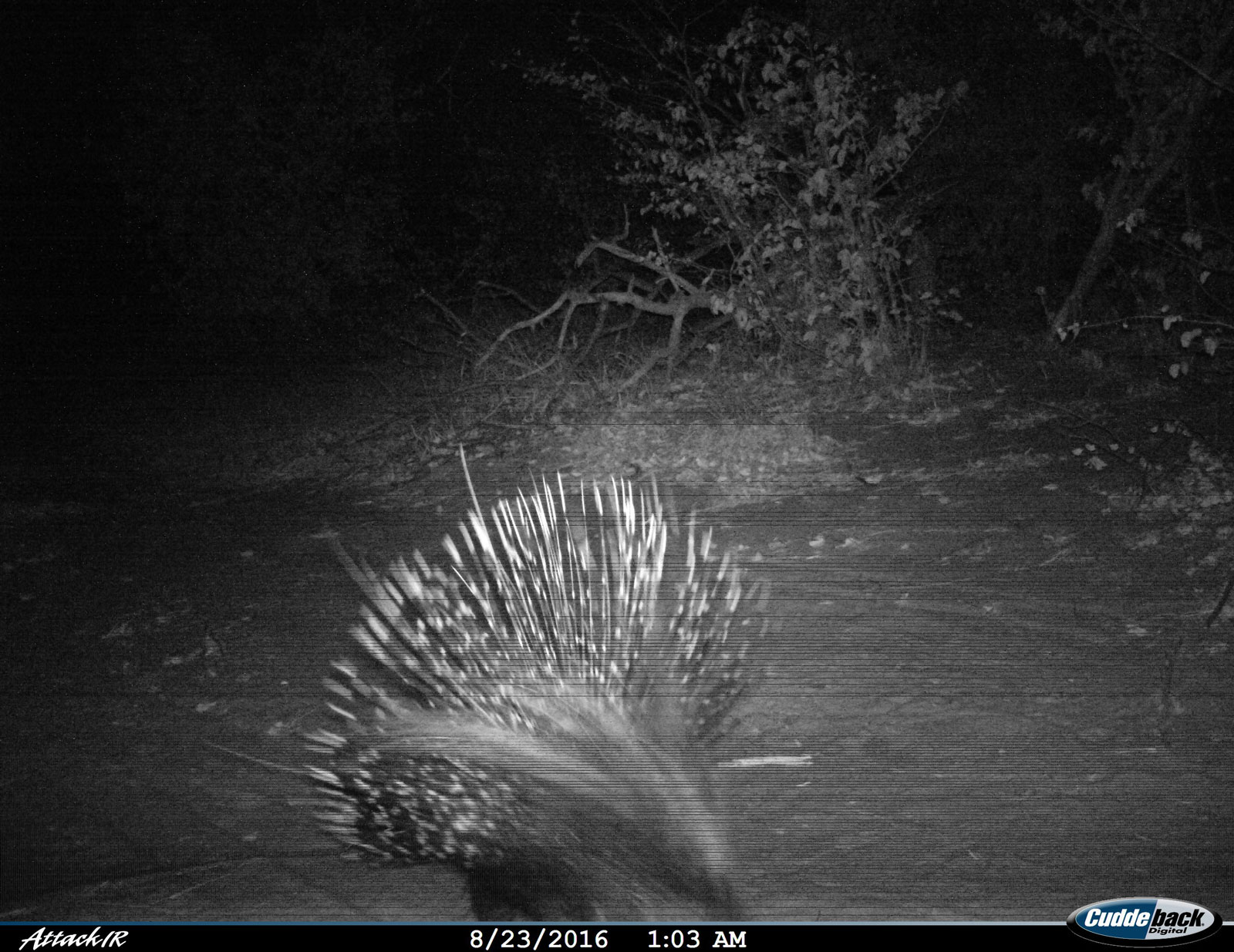 Tuskers Porcupine