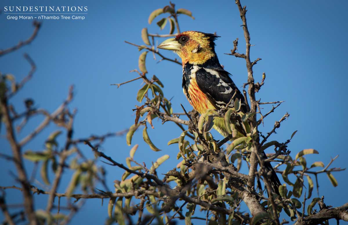 Crested Barbet at nThambo