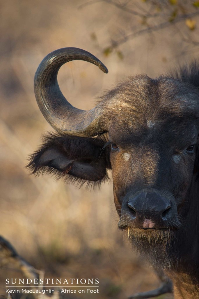The softer side of a buffalo emerges in this gentle look from the otherwise formidable herbivore
