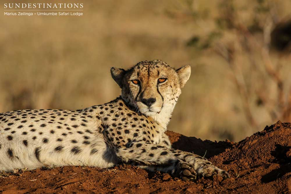 The amber-eyed gaze of a rare cheetah seen relaxing on the reserve. Perfection.