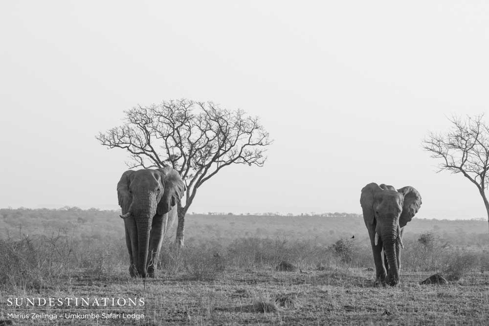 Two elephants amble across the plains in the iconic Sabi Sand. Today on World Elephant Day, we are  even more appreciative of sightings such as this. Wild and free, as nature intended.