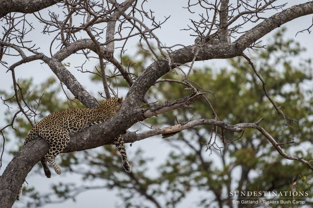 A leopard finds a comfortable nook in a marula tree to while away the afternoon