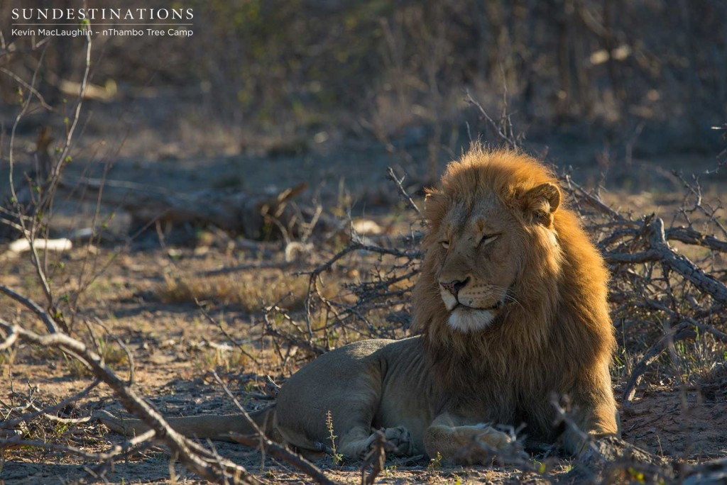 One of the Mapoza males settles for some shut eye after filling up on a meal of buffalo