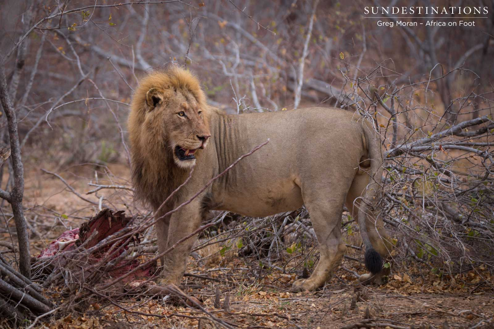 Mapoza Lions Take Buffalo Kill from Lionesses… Again