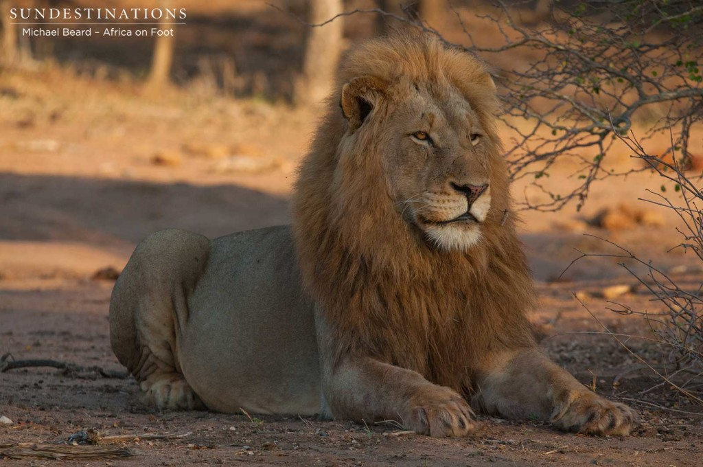Mapoza male lion near Africa on Foot