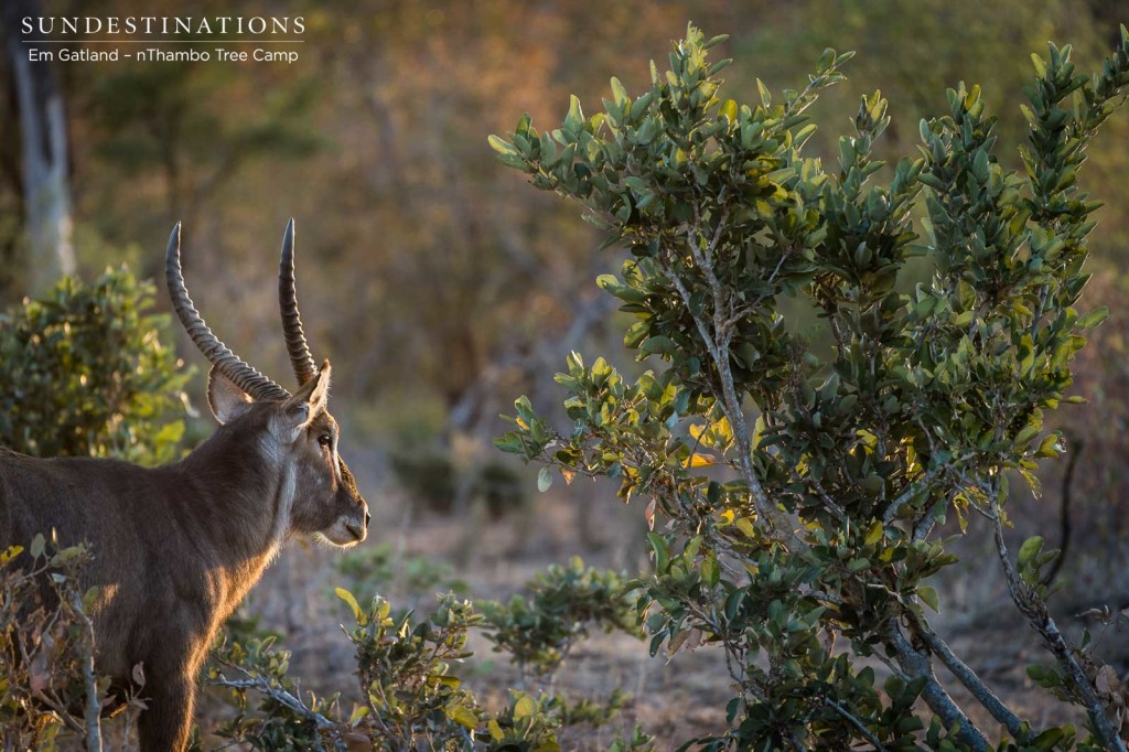 A waterbuck bull turns to follow the sun after a brief look in our direction
