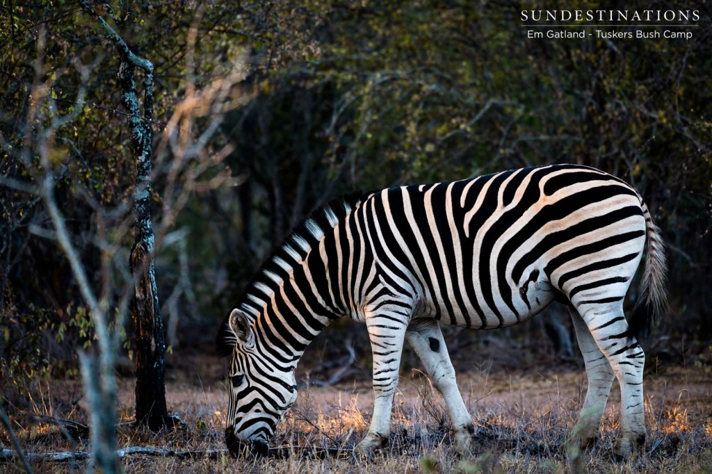 A uniquely striped zebra bows its head in preparation to mow the grass in the Tuskers concession