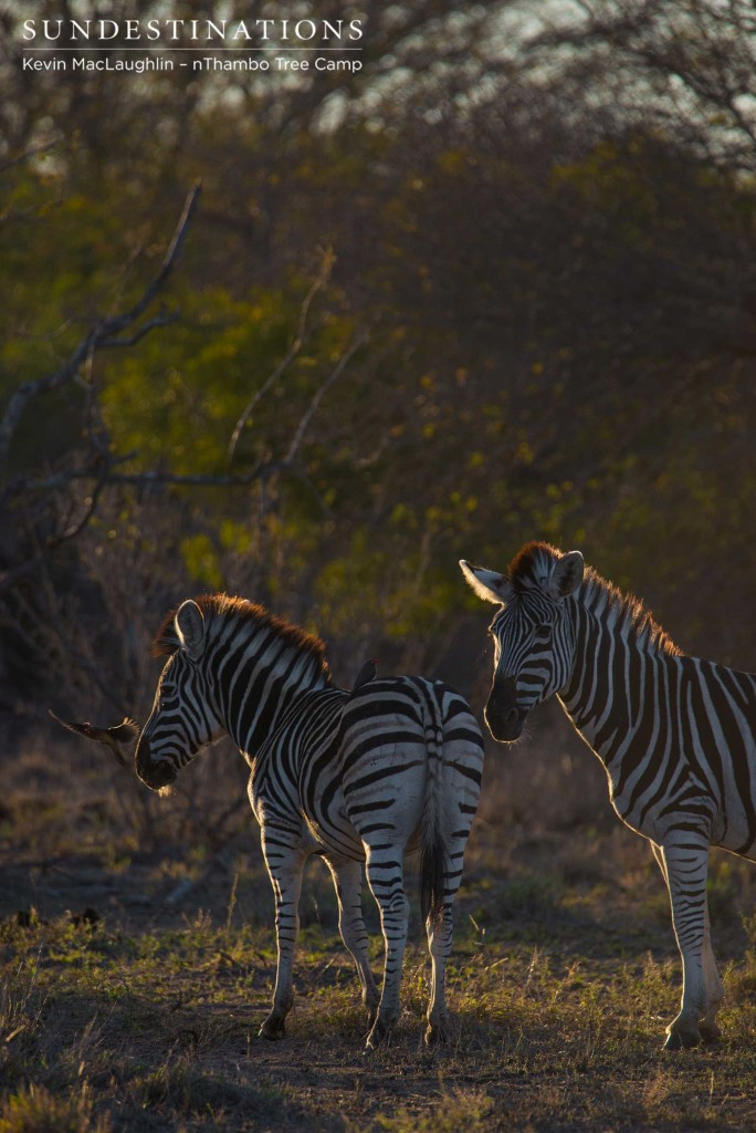 A pair of zebras stand, illuminated, in the early evening sun