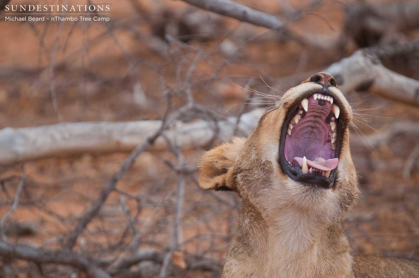 Hercules Pride Lions Hunting Buffalo