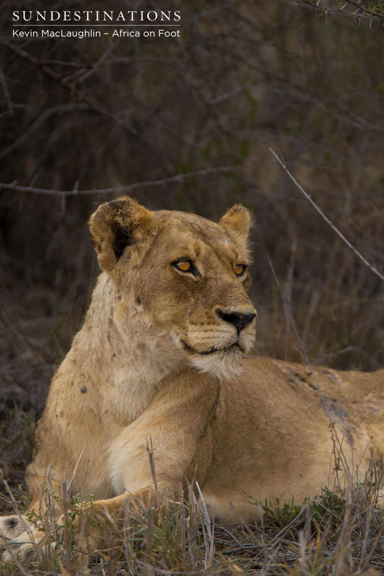 breaking 3 new lion cubs for ross breakaway lionesses