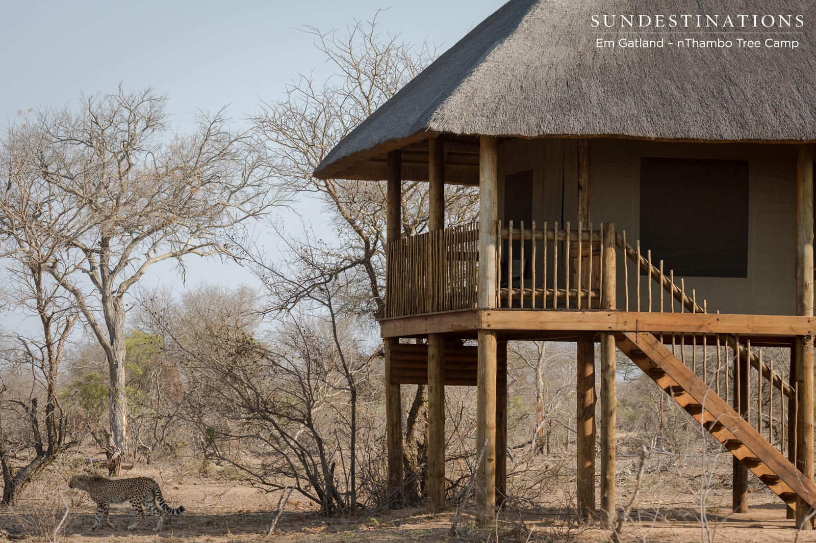 Cheetah Casually Strolls into nThambo Tree Camp