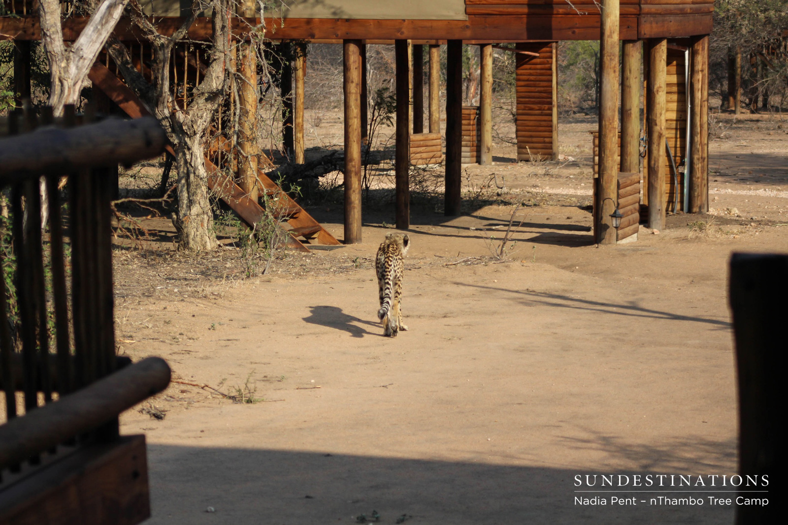 Cheetah Walks Towards Chalets