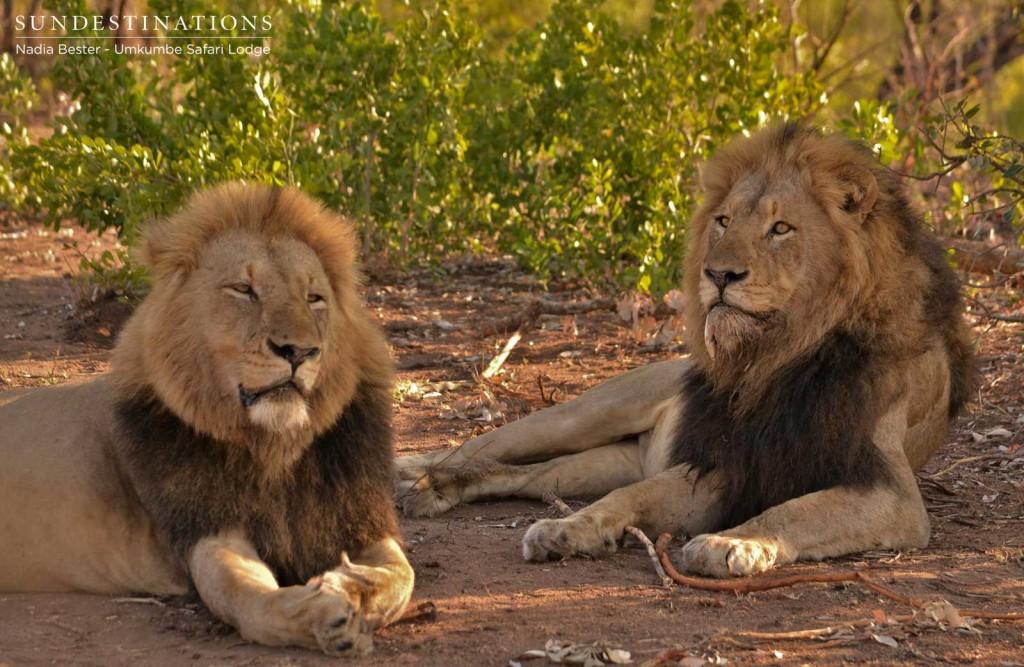 Charleston male lions seen at Umkumbe Safari Lodge