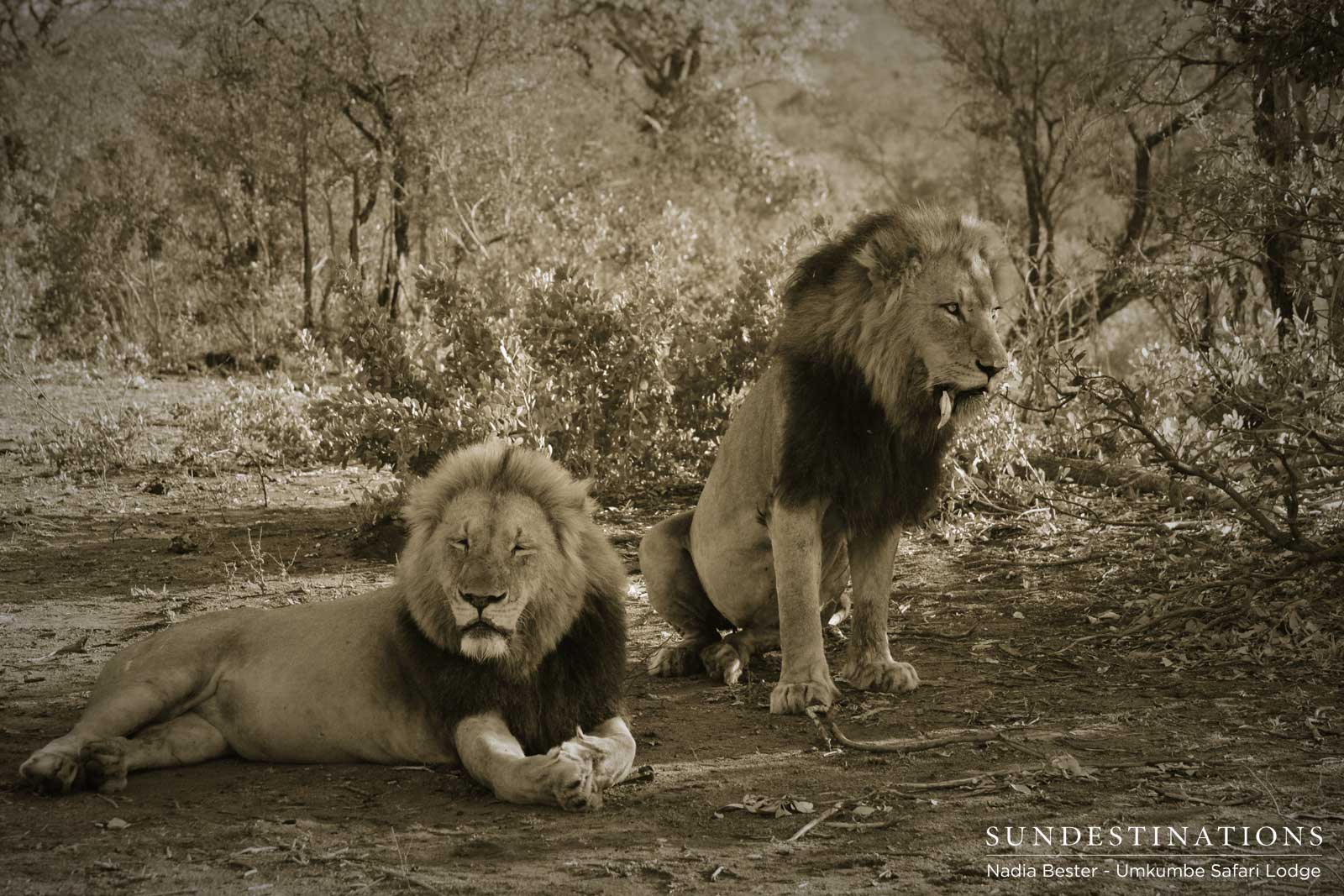 Portraits of the Charleston Male Lions at Umkumbe