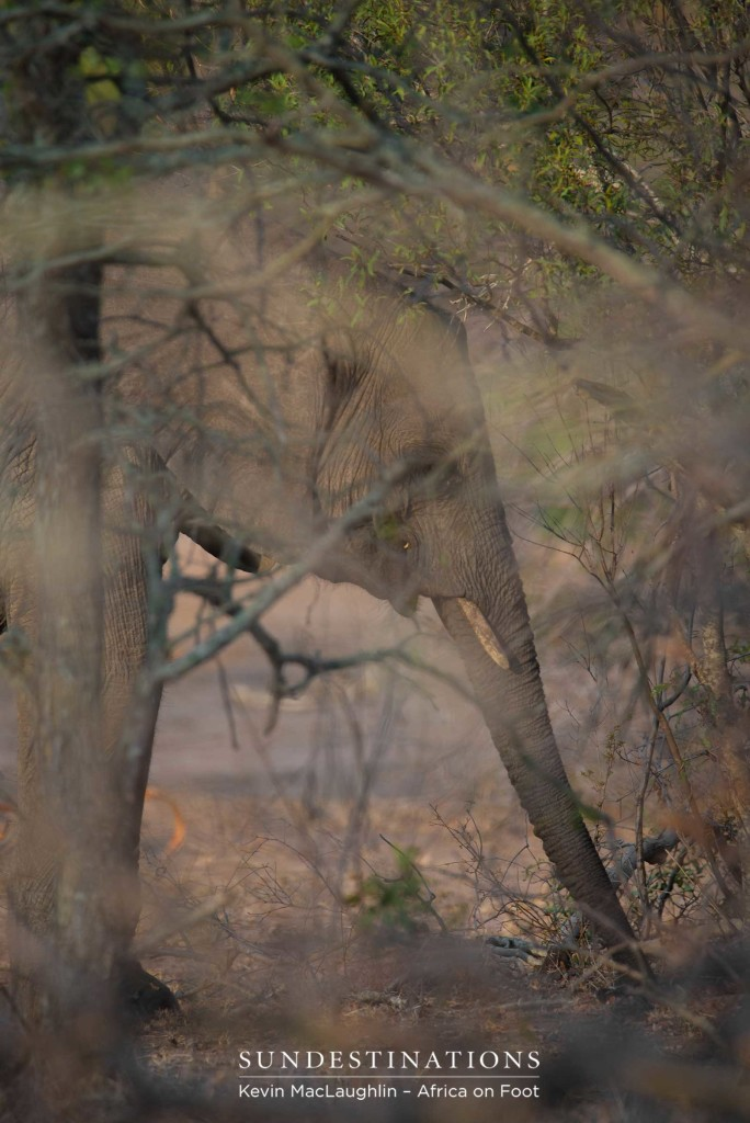 The grey leathery hide of an elephant camouflages perfectly in the bare winter bushveld