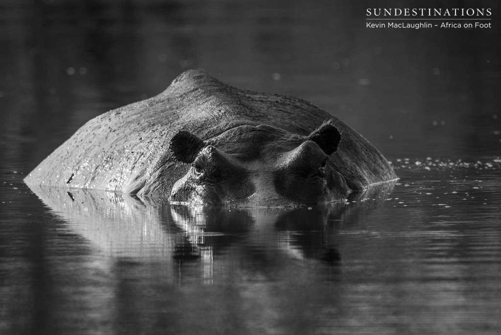 The tip of the iceberg... A beady-eyed hippo holds our gaze as she submerges the bulk of her body in the water