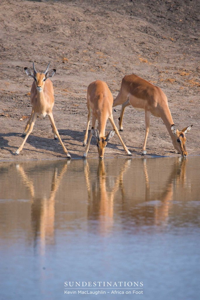One impala looks alert as a herd gathers to drink at a pan in the Klaserie