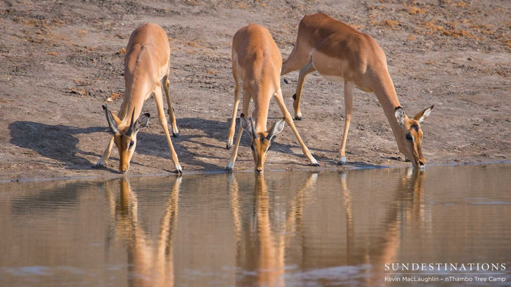 Three impalas take the plunge and lower their heads to take a drink from a pan