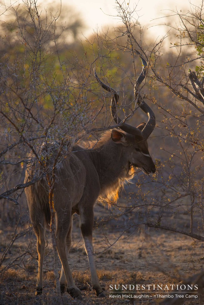 A kudu bull looks bashful as we admire his handsome coat illuminated in the sunlight