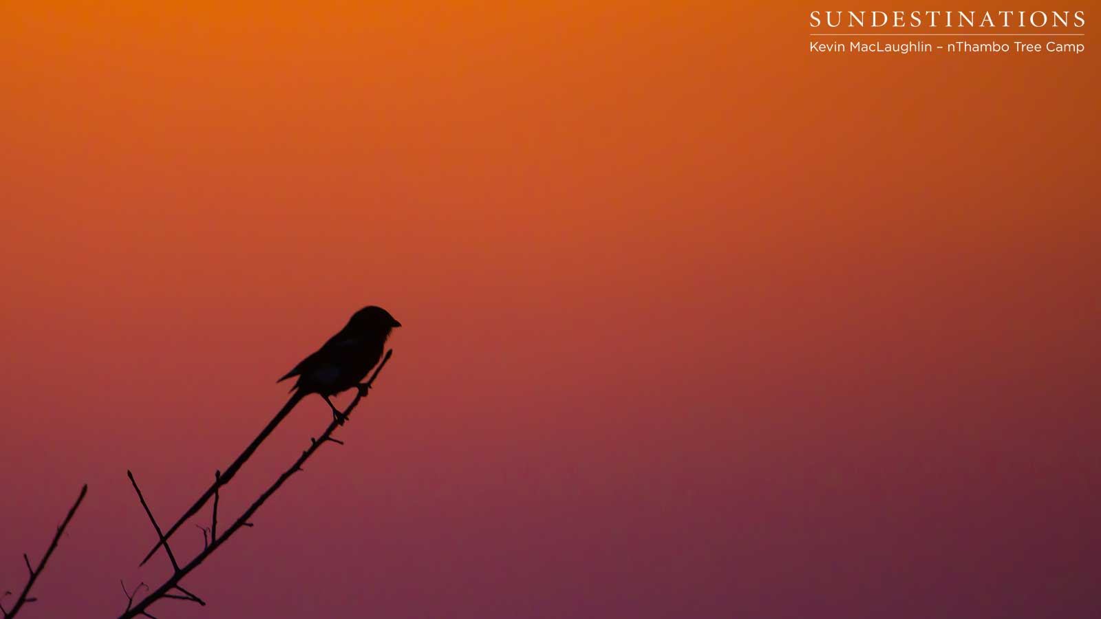 A magpie shrike soaking up the sunset