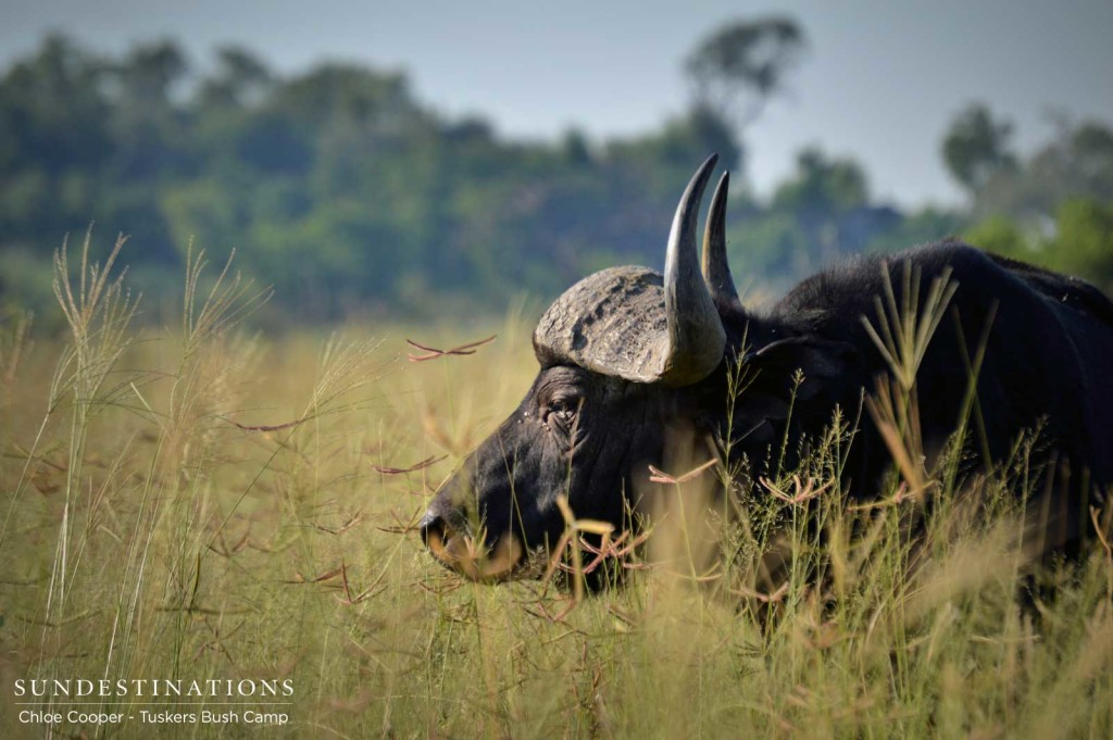 A buffalo bull moves steadily through the tall grass, keeping a wary eye on his surroundings