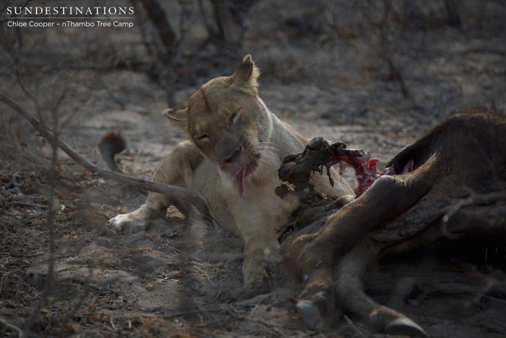 Ross Breakaway lioness tucking into buffalo kill