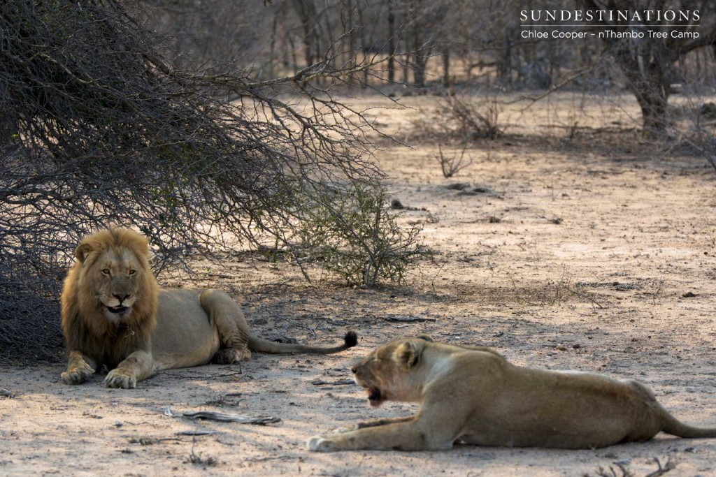 Mapoza male and Ross Breakaway lioness