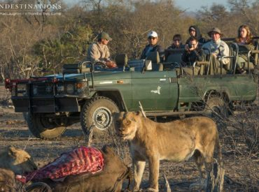 With the tough drought conditions that haveplagued the Kruger Park this year, it's no surprise that the grazing animals are weaker than they would be if they had fed on the green grass of summer. In the Klaserie, we've seen the buffaloes falling victim to hungry lions regularly, meaning that the king predators are getting […]