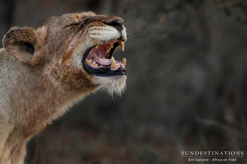 Ross Breakaway lioness missing one of her upper canines