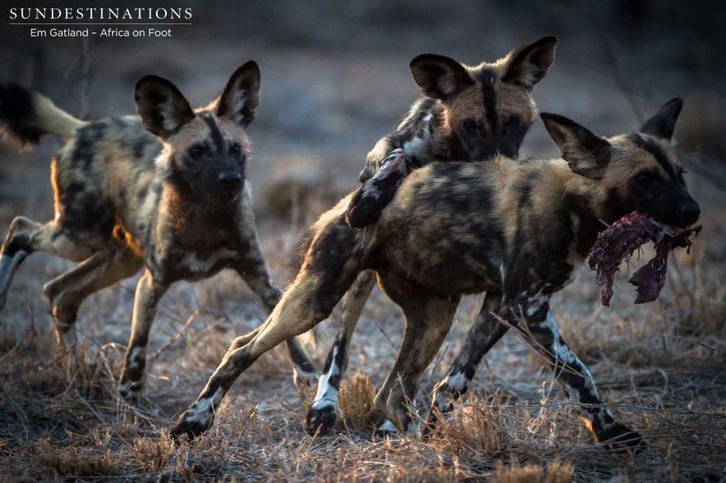 African wild dogs seen on foot making a kill at Africa on Foot
