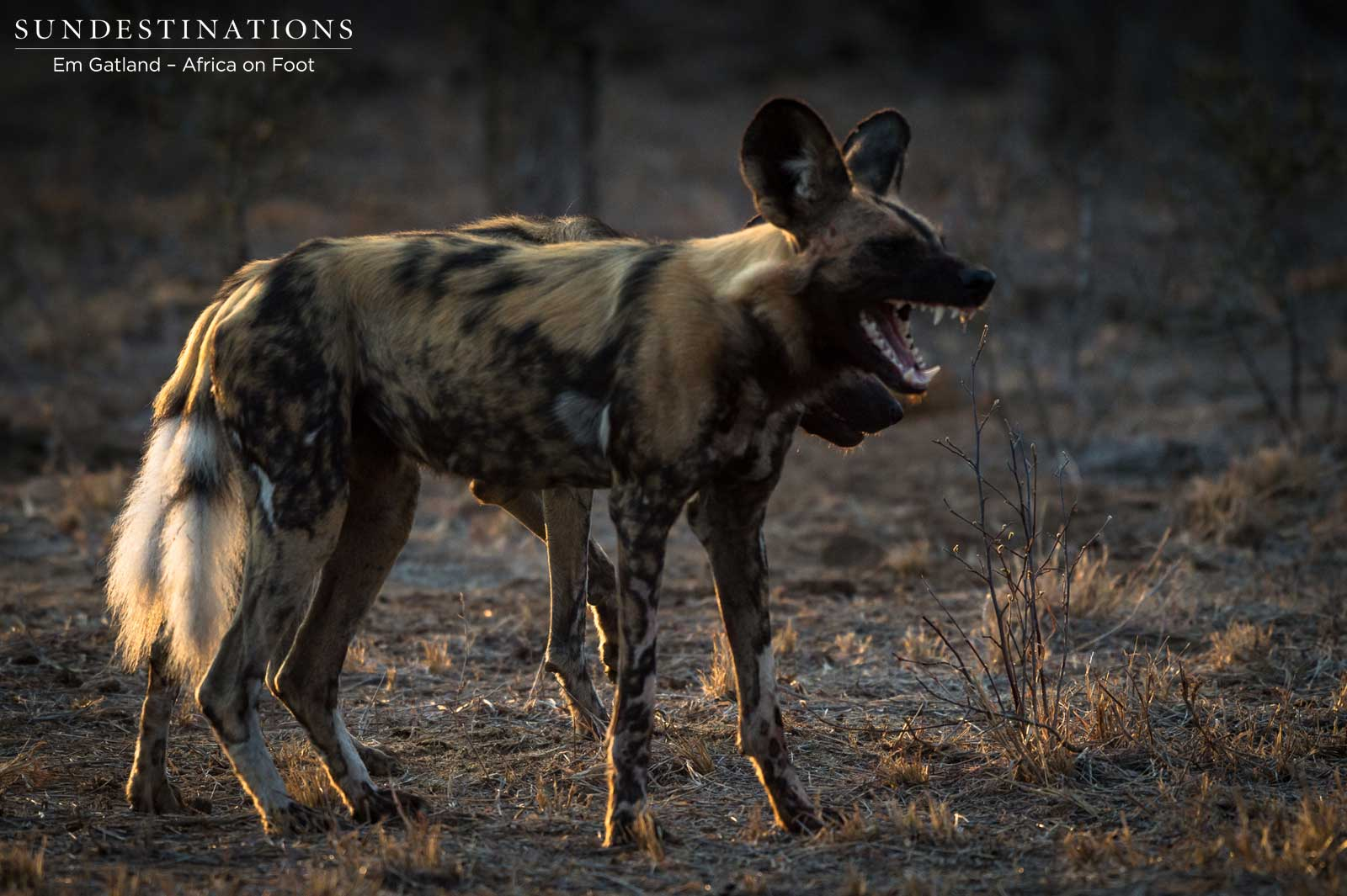 The Hunting Elite: African Wild Dogs 4 Kills in 1 Morning