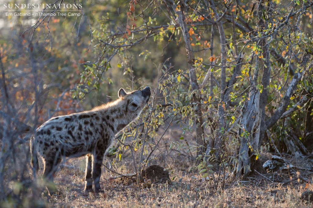 Hyena peering up at a leopard kill in a tree