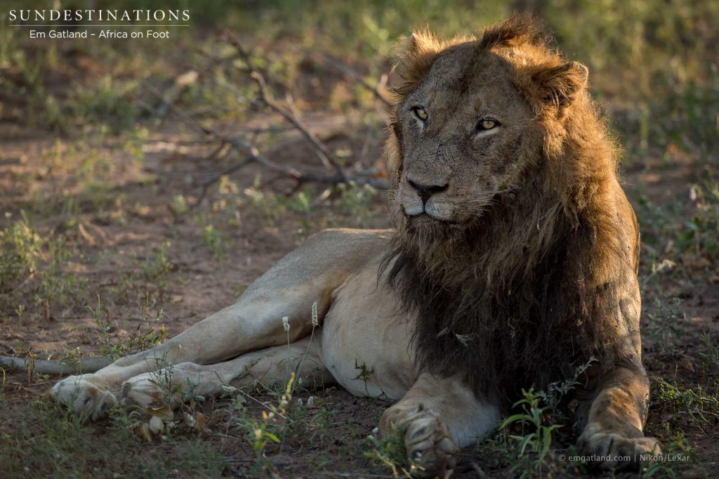 Mabande male - likely male to have sired recent cubs